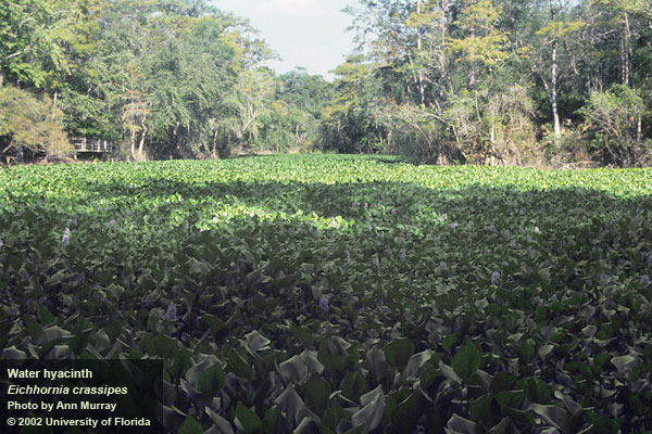 Weedoo Work Boats Water Hyacinth